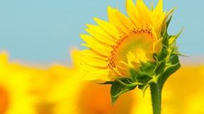yaz,çiçek,makro,ayçiçeği