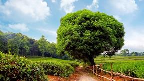 yaz,çay,bahçe,ağaç