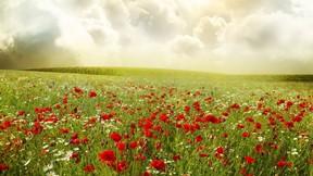 yaz,çiçek,papatya,gelincik,doğa,gökyüzü