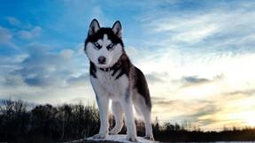 köpek,husky,sibirya kurdu,gökyüzü,kar