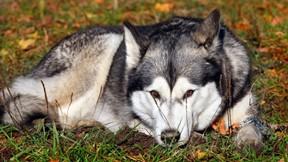 sibirya kurdu,husky,köpek
