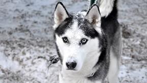 köpek,husky,sibirya kurdu,kar