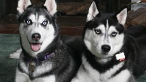 köpek,husky,sibirya kurdu