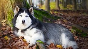 köpek,husky,sibirya kurdu,ağaç,orman