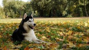 köpek,husky,sibirya kurdu,yaprak