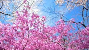 ilkbahar,pembe,çiçek,gökyüzü