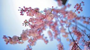 ilkbahar,çiçek,pembe