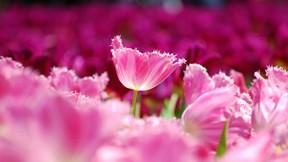ilkbahar,çiçek,pembe,makro