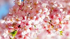 ilkbahar,çiçek,erik