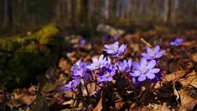ilkbahar,mor,çiçek,makro