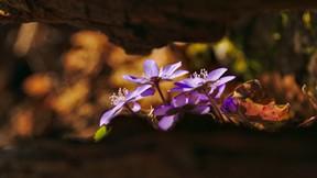 ilkbahar,çiçek,mor