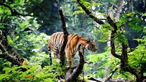 kaplan,vahşi,hayvan,orman,ağaç