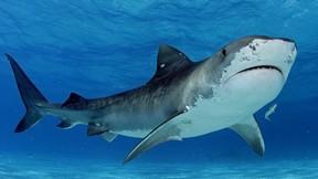 köpek balığı,deniz