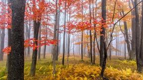 sonbahar,orman,ağaç,sis