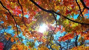 sonbahar,yaprak,ağaç,güneş