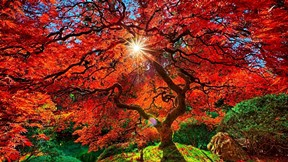 sonbahar,ağaç,kızıl,güneş