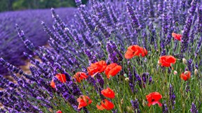 yaz,gelincik,çiçek,mor,kırmızı