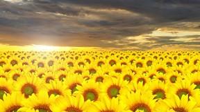 yaz,ayçiçeği,sarı