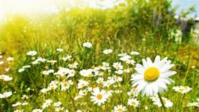 yaz,papatya,çiçek