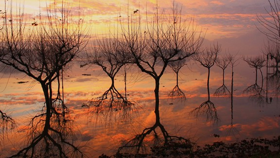 Göl Ağacı