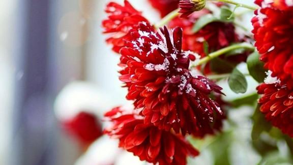 Karlı Çiçek