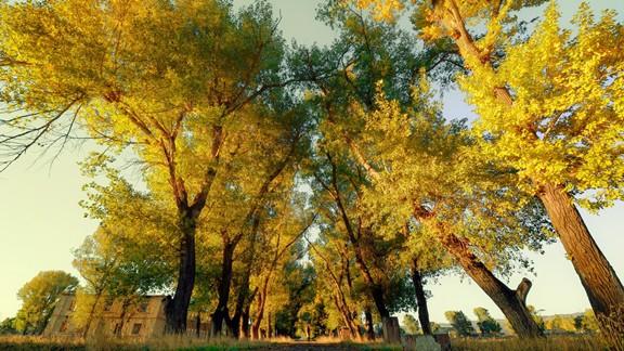 Sarı Ağaçlar