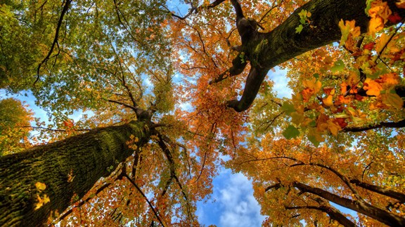 Dev Ağaçlar